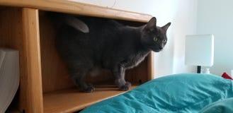 Katze, die auf das Bücherregal geht stockfotografie