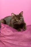 Katze, die auf das Kissen legt Lizenzfreies Stockfoto