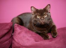 Katze, die auf das Kissen legt Lizenzfreie Stockfotos