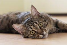 Katze, die auf dem Boden spielt und liegt Lizenzfreies Stockbild