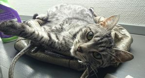 Katze, die auf dem Geldbeutel der Frau schläft Stockbilder