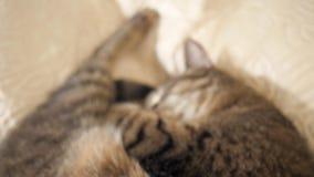 Katze, die auf dem Sofa schläft stock video