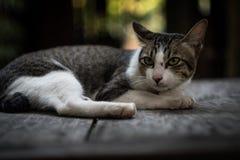 Katze, die auf dem Tisch liegt stockbilder