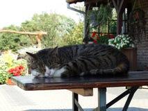Katze, die auf dem Tisch schläft lizenzfreie stockfotografie