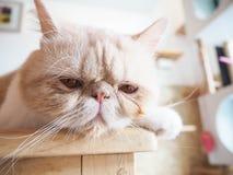 Katze, die auf dem Tisch sitzt Lizenzfreies Stockbild