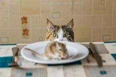 Katze, die auf dem Tisch zur kleinen Rennmausmaus vor Angriff schaut Konzept des Opfers, Lebensmittel, Plage, Gefahr, jagend stockfoto