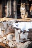 Katze, die auf dem vollen Stapel des Dachs der Protokolle sitzt Lizenzfreies Stockfoto
