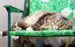 Katze, die auf den Stuhl legt Stockfotografie