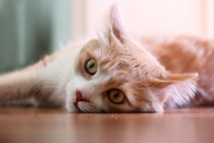 Katze, die auf einem Fußboden liegt. Stockfoto