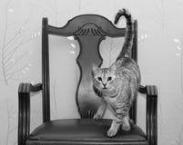 Katze, die auf einem Stuhl, lustiges Foto der Hauskatze auf im altem Stil Stuhl in Schwarzweiss steht Kätzchen Lizenzfreie Stockfotografie