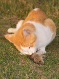 Katze, die auf einer Maus genießt Stockfotografie