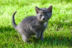 Katze, die auf grünes Gras geht Lizenzfreie Stockfotografie