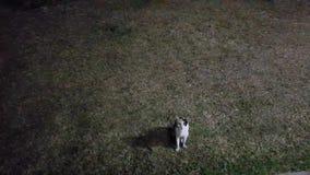Katze, die auf Gras nachts geht stock video