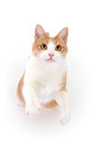 Katze, die auf Hinterfahrwerkbeinen steht Lizenzfreie Stockfotografie