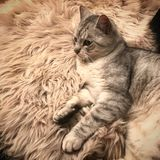 Katze, die auf Pelz liegt lizenzfreie stockbilder