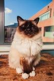 Katze, die auf Tabelle durch Fenster sitzt Lizenzfreies Stockbild