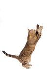 Katze, die auf Weiß spielt Stockbild
