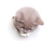 Katze, die aus dem Loch im Papier heraus schaut Lizenzfreies Stockfoto