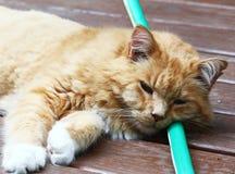 Katze, die das kühle Legen auf einen Schlauch hält Lizenzfreie Stockbilder