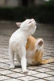 Katze, die den Pruritus löscht Lizenzfreies Stockfoto