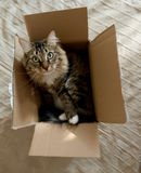 Katze, die in der Pappschachtel sitzt Stockbild