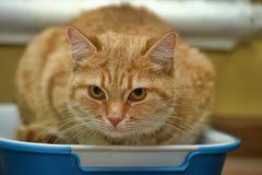 Katze, die in der Toilette sitzt lizenzfreies stockbild