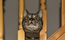 Katze, die durch Balustrade schaut. Stockfotos