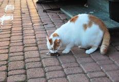 Katze, die eine Maus isst lizenzfreie stockfotos