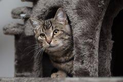 Katze, die in einem Katzenbaum sich versteckt Lizenzfreie Stockfotos