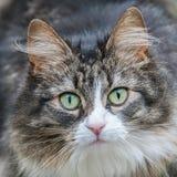 Katze, die entlang der Kamera anstarrt lizenzfreie stockbilder