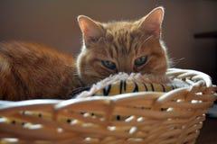 Katze, die entlang ich von seinem Korb anstarrt Lizenzfreie Stockbilder