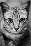 Katze, die gerade entlang der Kamera mit entsetzt anstarrt Lizenzfreie Stockfotografie