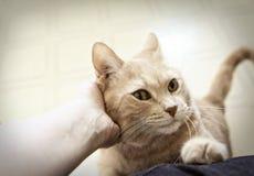 Katze, die Haustier ist Lizenzfreies Stockbild