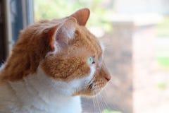 Katze, die heraus Fenster anstarrt Stockbild
