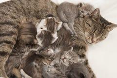 Katze, die ihre Junge einzieht Lizenzfreie Stockbilder