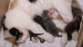 Katze, die ihre kleinen Kätzchen stillt Mutterschaft, Parenting, Sorgfalt stock footage