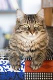 Katze, die ihre Tatzen zeigt stockfotografie