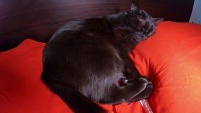 Katze, die im Bett schläft stock footage