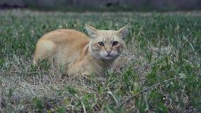 Katze, die im Gras liegt stock video footage