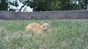 Katze, die im Gras liegt stock footage