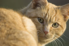 Katze, die Kamera betrachtet Stockbild