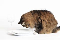 Katze, die leere Platte betrachtet Stockbild