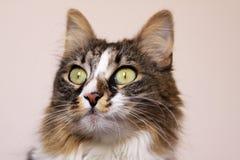 Katze, die mit breiten geöffneten Augen anstarrt Stockfoto