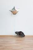 Katze, die mit dem baloon hält das Band spielt Russische blaue Katze Lizenzfreie Stockfotografie