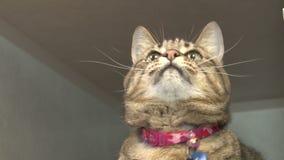 Katze, die mit Schnurspielzeug spielt stock footage