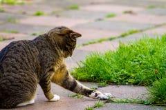 Katze, die mit seinem Opfer spielt stockfotografie