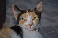 Katze, die nach der Kamera nett sucht Stockfotografie