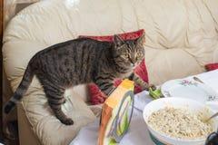 Katze, die nach Lebensmittel sucht Stockfoto
