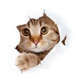 Katze, die oben im Papierseite heftigen Loch getrennt schaut Lizenzfreies Stockbild