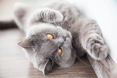 Katze, die sein Vorderbein ausdehnt Lizenzfreies Stockbild